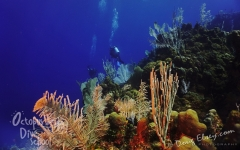 Roatan2017_Dive6_Pillar_Coral_DougElseyPhoto_128